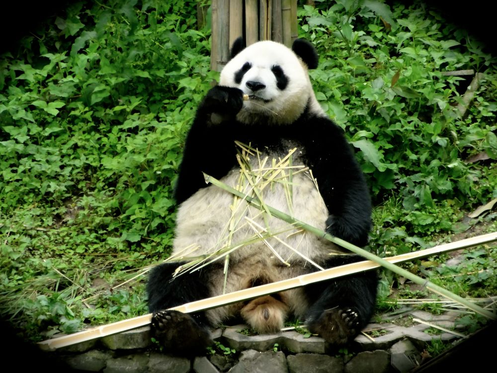 Overseas Born Panda Paradise in Chengdu, China