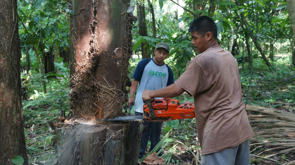 """Local Mayans in Belize getting the """"heart of palm"""" from a Cahune tree by Jun Xiao"""