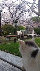 cat and sakura
